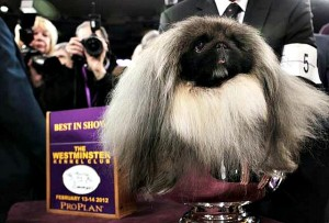 Pekingese Power Rules Westminster Dog Show