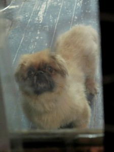 Throwback Thursday: Mr. Chubbs & the Peke Not Taken